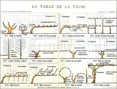 The size of the vine, the board established by laboratory agronomist Victor Vermorel, Station Wine Villefranche (Rhône), early twentieth century, reproduced in Vine and Wine, 1988, p.  91.  Collection City of Villefranche sur Saône, Arts and Popular Traditions.