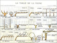La taille de la vigne, planche établie par le laboratoire de l'ingénieur agronome Victor Vermorel, à la station viticole de Villefranche (Rhône), début du XXe siècle, reproduite dans La Vigne et le vin, 1988, p. 91.    Collection Ville de Villefranche sur Saône, Arts et Traditions populaires.