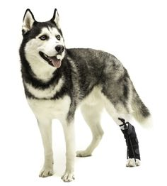 The No-Knuckling Training Sock should be used as a temporary training tool. It is intended for short term, multiple use to help correct gait and improve hind paw placement. Typically, pet owners will place the training sock on their pet for a two to five minute walk and then remove it. Please consult with your Veterinarian or Canine Rehabilitation professional before using.