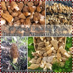 50 Tips to Look for While Hunting for Morel Mushrooms Homesteading  - The Homestead Survival .Com