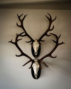 Stags-from-Monteria