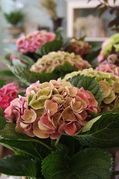 Hydrangeas in antique colors..my favorite.. my aunt Bertica has these in her garden O MY!
