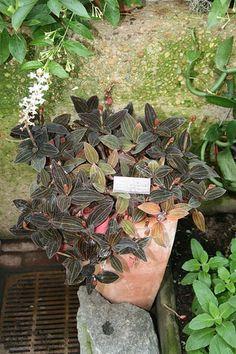 Ludisia discolor (Jewel Orchid) care