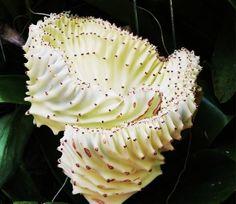 Euphorbia lactea(Dragon Bone). Photo by Sheladf Photography