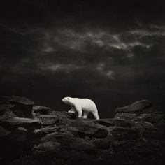 Black & White. Dark. Mysterious. Cold. Freezing. Polarbear. Rocks. Nature. Animal. Sky. Beauty. Composed perfectly. Stars. Animal. On the Go. Majestic.