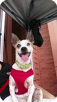 Nashville, TN - Terrier (Unknown Type, Small)/Chihuahua Mix. Meet Barney, a dog for adoption. http://www.adoptapet.com/pet/11240130-nashville-tennessee-terrier-unknown-type-small-mix