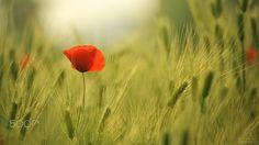 Poppy & Barley - Took it in Barley field in Bucheon, Korea.