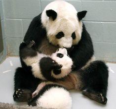 Panda play time.
