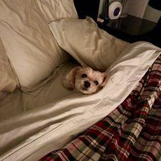 Someone is clearly ready for bed. #lattethepuppy #myheartandsoul #myfurrykid #furrykid #myfurrychild #mansbestfriend #dog #dogs #puppy #puppies #morkie #morkies #cuddleup #littleguy #littleman #mylittleman#bffs #likefatherlikeson #bed #readyforbed #sweetdreams #goodnight