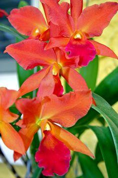 #cattleya My Visual Nirvana-Orchids | www.groovitydesig... #orchid #garden…