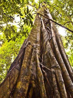 Huge ancient rainforest tree, QLD, Australia