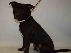 Manhattan Center YSON – A1081690  MALE, BLACK / WHITE, AM PIT BULL TER MIX, 1 yr OWNER SUR – EVALUATE, NO HOLD Reason OWN EVICT Intake condition UNSPECIFIE Intake Date 07/18/2016, From NY 10458, DueOut Date 07/18/2016