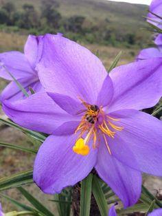 Flor canela de ema condominio Retiro das Pedras