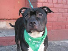 SAFE --- URGENT - Brooklyn Center   GALA - A0993363   FEMALE, BLACK / WHITE, STAFFORDSHIRE MIX, 4 yrs  STRAY - ONHOLDHERE, HOLD FOR OWNER DIED Reason OWNER DIED  Intake condition NONE Intake Date 03/07/2014, From NY 11211, DueOut Date 03/15/2014 https://www.facebook.com/photo.php?fbid=772875712725310&set=a.617941078218775.1073741869.152876678058553&type=3&theater