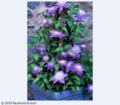Produces amazing double flowers and has a very compact bushy habit. Clematis Crystal Fountain is best grown in containers on the patio or soil planted in a small garden.     Flowering:    Late Spring/Early and late summer  Site:    Any aspect  Height:    2m (6ft)  Pruning:    Light prune early spring  Collection:    Regal® (doubles)