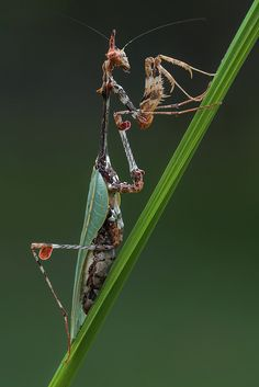"""Another fine specimen found, mounted and photographed by Andre De kessel. In his own words-""""Found this cryptic and fine mantid (ca 32mm long, Sibylla pretiosa, Sibyllidae, Mantodea) in the miombo forests of Mikembo sanctuary (DR Congo, Katanga, 35km NE of Lubumbashi, January 2015). I actually disturbed it, otherwise I wouldn't have seen it."""""""