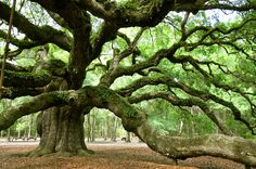 Angel Oak Tree, Charleston, South Carolina