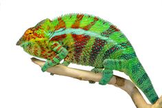Panther Chameleon - Furcifer pardalis - Ambanja - Male  Wild caught male from Madagascar