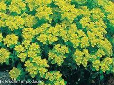 Euphorbia polycroma 'Senior' - Vortemælk