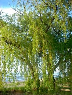 Summer Willow 2