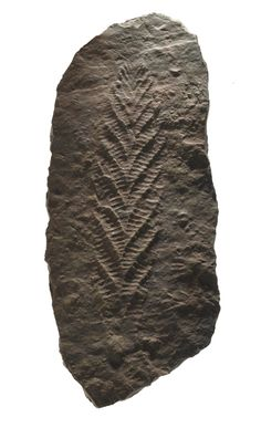 Cast of fossil Ediacaran biota, Charnia sp., from the Ediacaran Period (Precambrian) of Charnwood Forest, Leicestershire, England