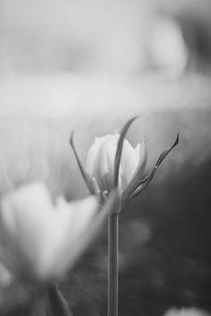 ...  świat wokół mnie   ...: ... kwiaty w tonacji B&W ...
