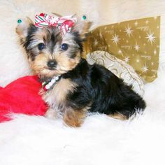 Amyjo - Small Yorkie. She is also a parti gene carrier. This little girl is as happy as can be she loves to play with her little red ball and is very tiny. She most likely will be around 4.5 - 5.0 lbs. full grown. He is AKC registered, microchipped and comes with a one year health guarantee. For more information on this Miniature puppy, please call (573-734-6330)