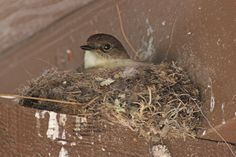 Birds & Blooms Blogger SeEtta spotted this nesting Eastern Phoebe in Texas last week. Learn more about this species on the blog.