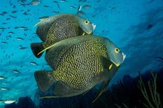 8 Animals That Mate for Life: 5. French Angelfish - Love Under The Sea