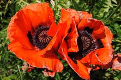 My mama's poppy flowers