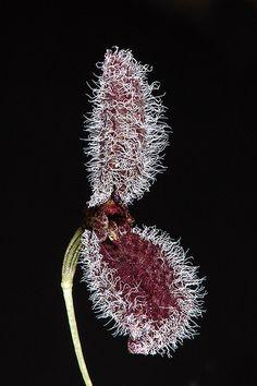 Pleurothallis flexuosa - orchid