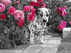 """""""splash"""" of color photography / #pink / dalmatian puppy"""
