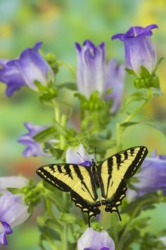 Male Western Tiger Swallowtail Butterfly photography by:  Darrell Gulin