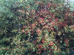 Lots Hawthorn Berries for the Birds...Autumn coming.   15th Sept 2013
