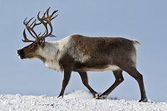 Охота на северного оленя, дикий северный олень, олень северный, охота на…