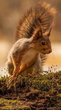 Wszędobylska wiewiórka