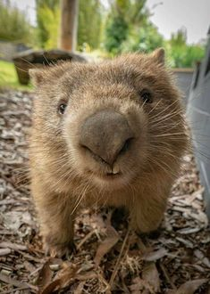 Cute Wombat, Baby Wombat, Animals And Pets, Baby Animals, Funny Animals, Animal Noses, Australia Animals, Cute Little Animals, Tier Fotos