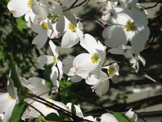 Dogwood-Missouri's State Flower