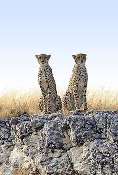 Cheetahs in Namibia - Etosha