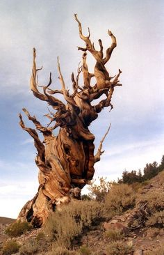 Methuselah, the world's oldest tree and oldest known living non-clonal organism at 4845 years old. It lives in the White Mountains of Inyo County in eastern California and is named for the figure having the longest mentioned lifespan in the Bible of 969 years.
