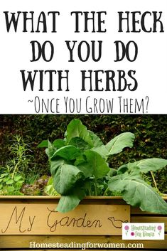 When to harvest herbs. Wondering just when the best time to harvest your herbs? Great tips. #harvestherbs #herbgarden #homesteadherbs #homesteadingforwomen