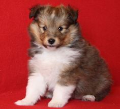 "Sheltie puppy, wondering ""where are my Kisses n Hugs?!!"""