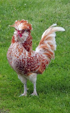 Polish Ornamental Chicken Breed