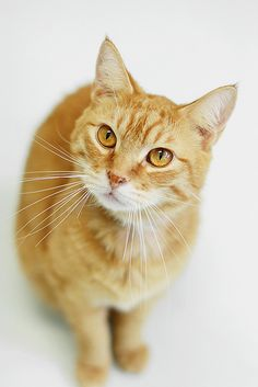 I had a orange tabby like this one. His name was Maynard. He was a wonderful cat and was very spoiled.