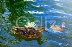 Qdiz Stock Photos Duck Swimming In The Water,  #background #beak #beauty #bird #birdwatching #blue #brown #close-up #closeup #duck #feather #floating #head #lake #leaf #leaves #macro #mallard #maple #nature #outdoor #outside #pond #reflection #River #sunny #swimming #water #waterfowl #wild #wildlife #wing