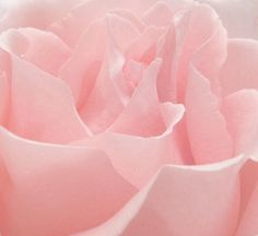 Pink rose petals, they look so soft