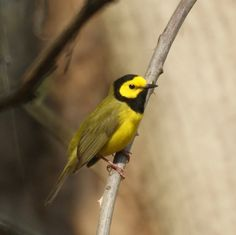 Hooded Warbler by New Jersey Birds, via Flickr