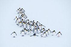 Pinguin-Parade Foto: Kitty Kono #Pinguine #Antaktis