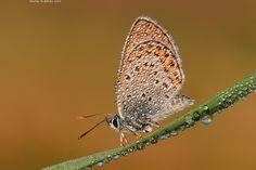 Modrásek vičencový - Polyommatus thersites - null