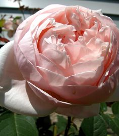 'St. Cécilia', Order David Austin roses & other fragrant garden roses @ www.parfumflowercompany.com. FedEx Shipment starts from only 24 stems throughout Europe